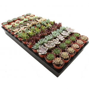 "72-Pack 1.75"" Mini Assorted Succulents - Perfect for Fairy Gardening & Wedding Favors"