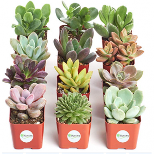Shop Succulents Unique Succulent (Collection of 12)
