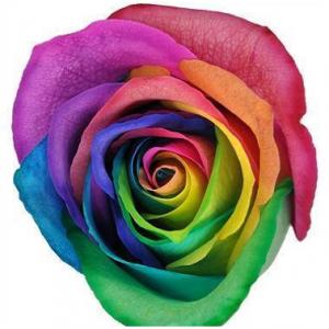 Rainbow Roses Bulk