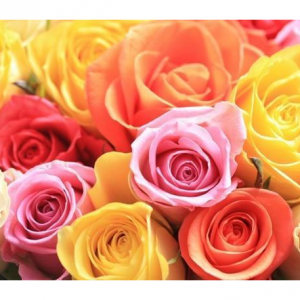 250 Color Roses