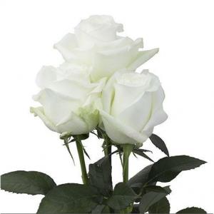 100 White Roses Bulk