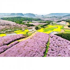 贵州平坝农场樱花赏花攻略(附乘车路线推荐)