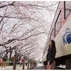 Klook - 镇海军港节樱花庆典 领略韩国传统文化