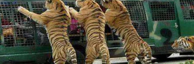2019青岛森林野生动物园一日游攻略(附门票+开放时间+展区介绍+游玩路线推荐+动物表演+交通)