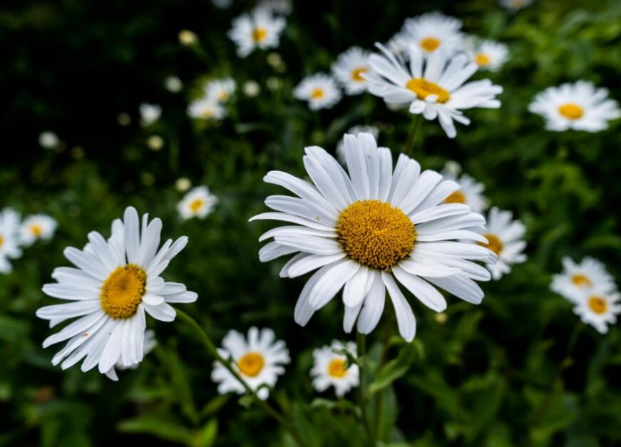 How to Care for Daisy Flowers | Planting,  Growing & Caring Tips (22% Cashback)